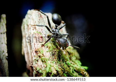 Bullet Ants in the Amazon: the most painful and dangerous stinging insect in the WORLD! - stock photo