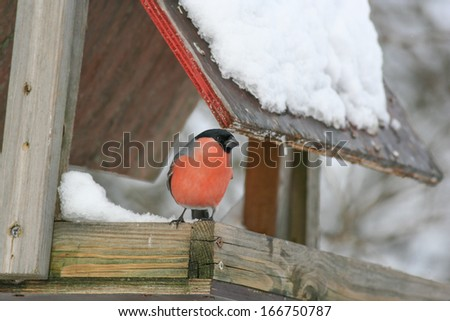Bullfinch male on bird feeder - stock photo
