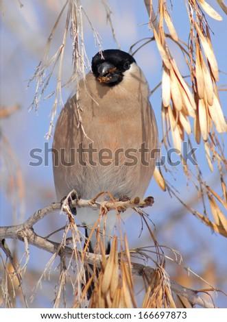 Bullfinch on branch of maple  - stock photo