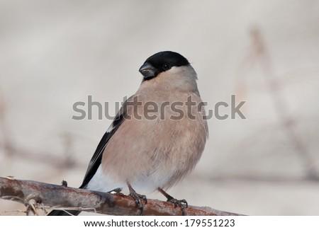 Bullfinch on the branch - stock photo