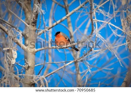 Bullfinch (Pyrrhula pyrrhula), male. Beautiful bird in the wild nature. - stock photo