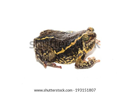 bullfrog  isolate on white - stock photo
