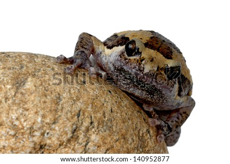 bullfrog on stone isolated on white - stock photo