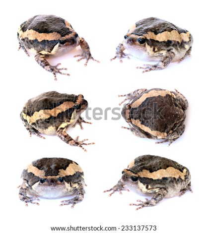 Bullfrog set isolate on a white background - stock photo