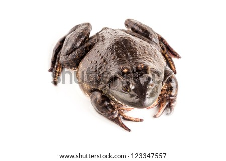 bullfrog studio shoot with white background - stock photo