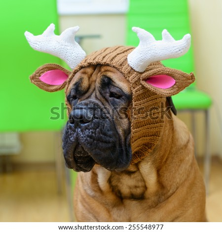 bullmastiff dog in winter hat. portrait close-up - stock photo