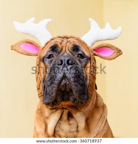 bullmastiff dog in winter hat  portrait close-up - stock photo