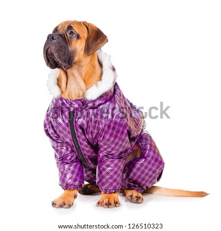 bullmastiff puppy. dog dressed in winter warm clothes. close-up portrait. isolated on white background - stock photo