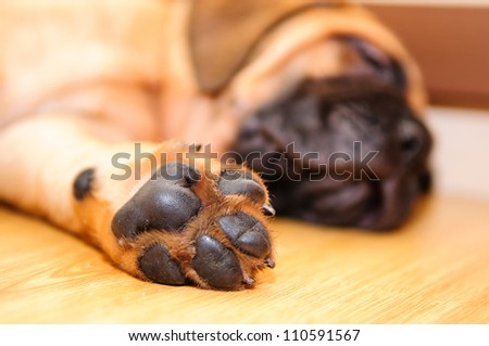 bullmastiff puppy paw close-up - stock photo