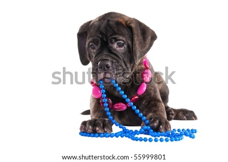Bullmastiff puppy with necklace lying isolated - stock photo