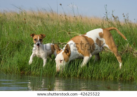 Bullterrier and Jack Russel terrier - stock photo