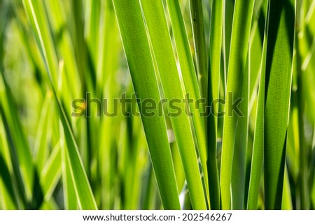 Bulrush thickets closeup. Solid wall of tall reeds, lush rich green. Scirpus coastal aquatic plants - stock photo