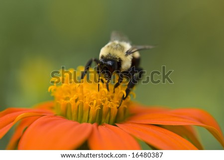 Bumble Bee and on Flower (with very shallow depth of field) - stock photo