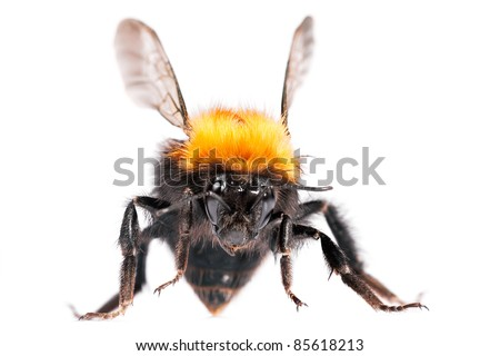 Bumble bee are social insects. Greater DOF. - stock photo