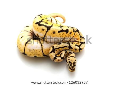 Bumble bee ball python (Python regius) isolated on white background. - stock photo