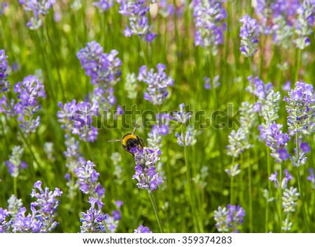 Bumble Bee (Bombus terrestris) on a Lavender Flower, facing camera on a summers day in England - stock photo