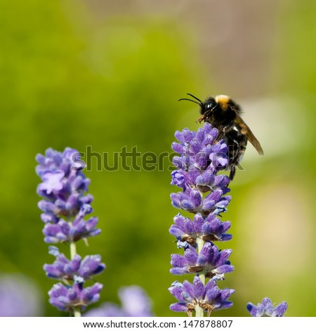 Bumble bee (Bombus terrestris) on lavender flower in England.  - stock photo
