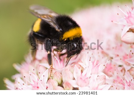 Bumble bee busy getting nectar from sedum - stock photo
