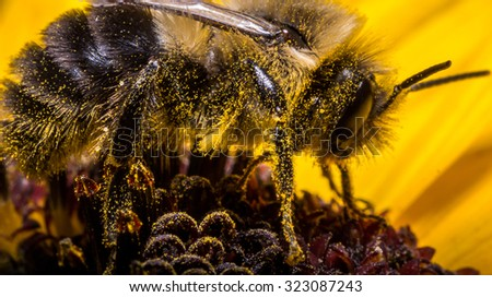 Bumble bee extracting pollen from sunflower - stock photo