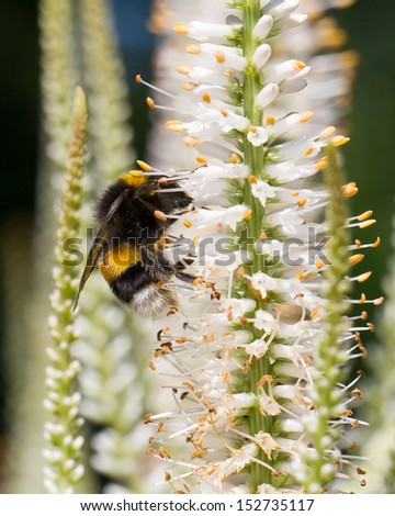 Bumble bee on a flower, natural habitat - stock photo
