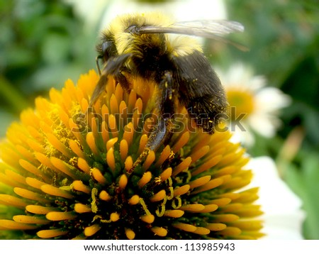 Bumble bee on cone flower - stock photo