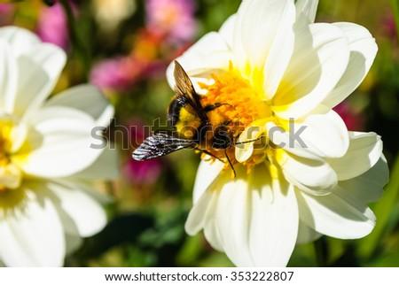 Bumble bee on pollen of white chrysanthemum flower - stock photo