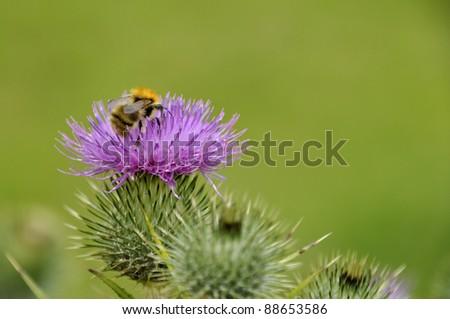 Bumble bee on purple wild flower - stock photo