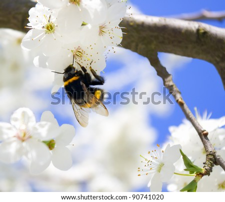 bumble-bee on the brunch of blossoming spring tree - stock photo