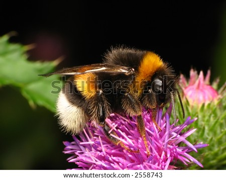 Bumble-bee sitting on the flower - stock photo