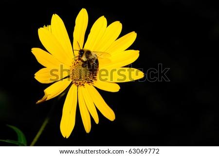 Bumble Bee yellow flower - stock photo