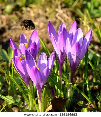 Bumblebee and crocus flowers - stock photo