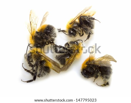 Bumblebee, Bombus sp., in front of white background - stock photo