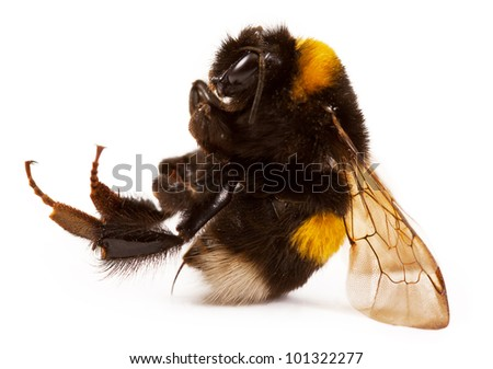 bumblebee close-up. isolated on a white background - stock photo