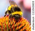 Bumblebee collecting pollen - stock photo