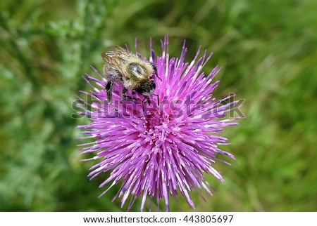 Bumblebee collecting pollen on a purple flower close-up - stock photo