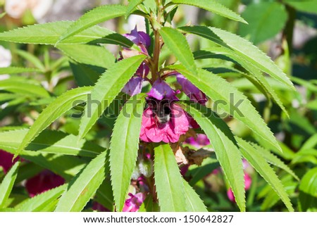 bumblebee feed nectar in garden balsam flower close up - stock photo