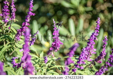 Bumblebee flies over amethyst sage - stock photo