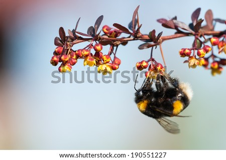 Bumblebee  hanging on a berberis plant - stock photo