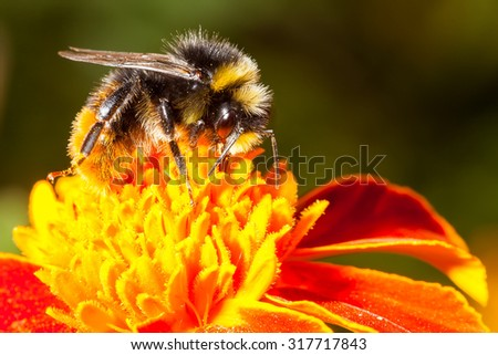Bumblebee is working on a yellow flower - stock photo