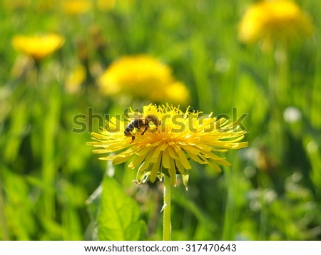 Bumblebee on a dandelion - stock photo