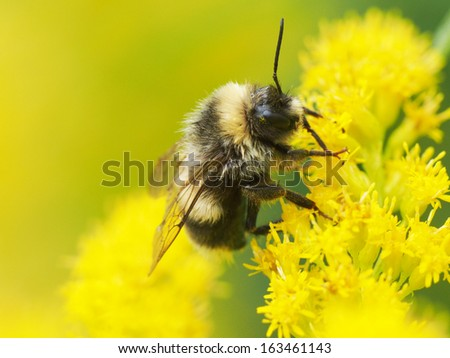Bumblebee on a yellow flower - stock photo