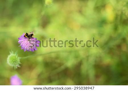 Bumblebee on Knautia arvensis flower - stock photo