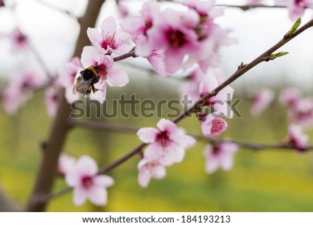 Bumblebee on peach flower collecting nectar - stock photo