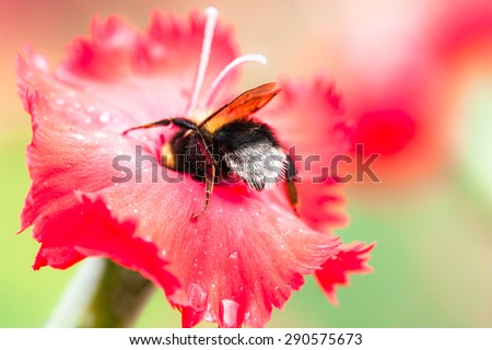 Bumblebee on red dianthus flower ,harvesting pollen - stock photo