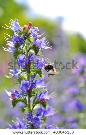 Bumblebee pollinating purple Viper's Bugloss. Medicinal herb. Echium vulgare. - stock photo