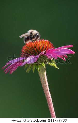 Bumblebee sitting and pollinating a purple sunflower (Echinacea purpurea) on green background. - stock photo