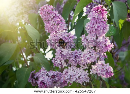 Bumblebee sitting on a branch of lilac. Lilac flowers on the Bush growing in the garden, sunlight - stock photo