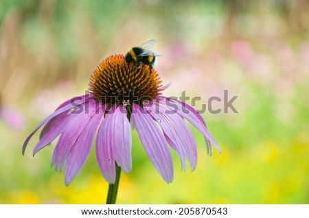 bumblebee sucking nectar on an echinacea purpurea flower head - stock photo