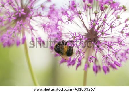 Bumblebee sucking nectar on an echinacea purpurea flower head. Allium. - stock photo