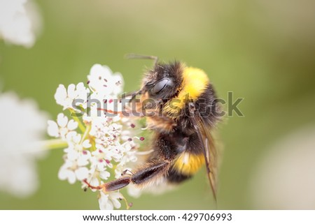 Bumblebee sucking pollen from a flower in a portuguese meadow - stock photo